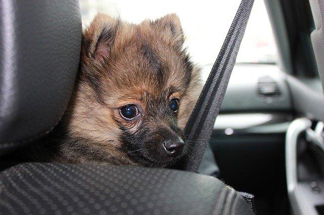 Víte, co riskujete, pokus svého psa při jízdě autem nezajistíte?
